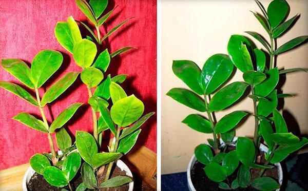 здоровое и больное растение