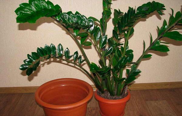 пересадка взрослого растения