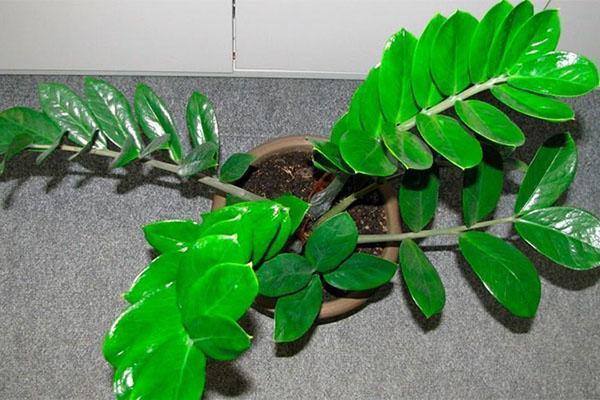 красивые листья замиокулькаса
