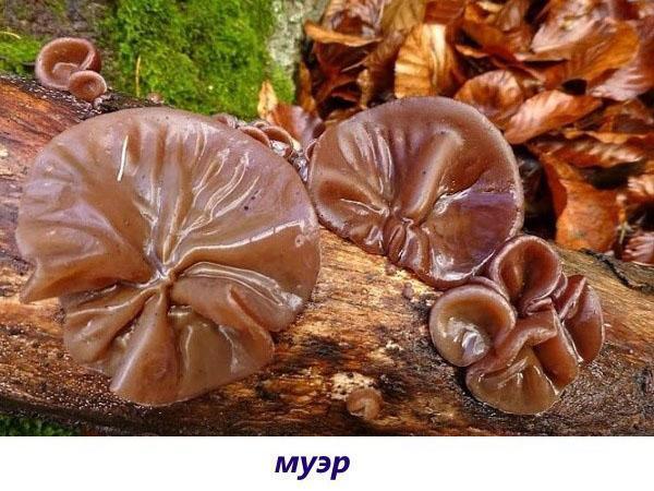 гриб муэр
