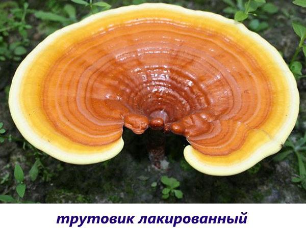 гриб трутовик лакированный