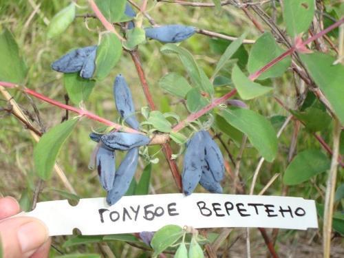 голубое веретено
