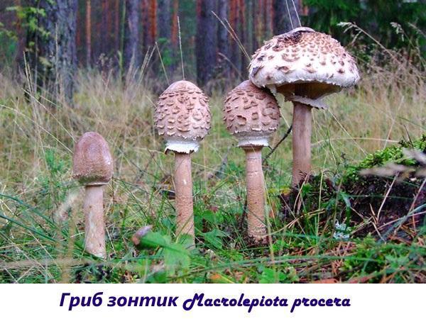 Гриб зонтик Macrolepiota procera