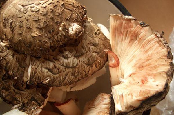 вид гриба зонтика
