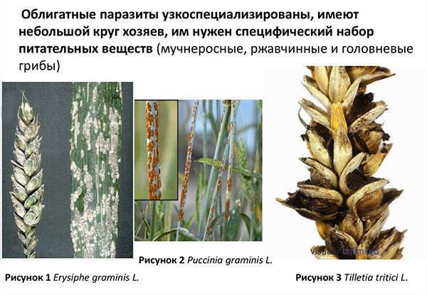 облигатные грибы паразиты