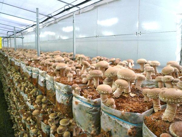 Изюминка восточной кухни - грибы шиитаке