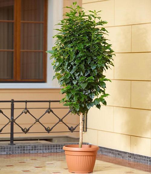 кофейное дерево сорта либерийский
