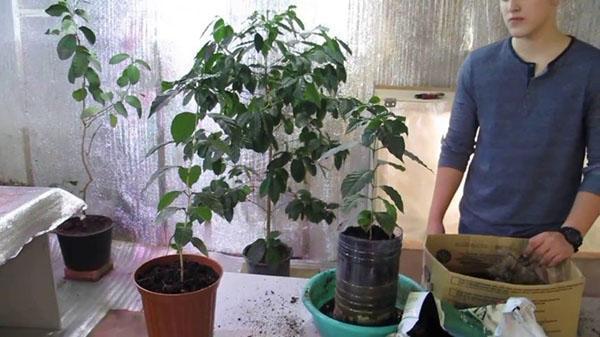 выращивание кофейного дерева