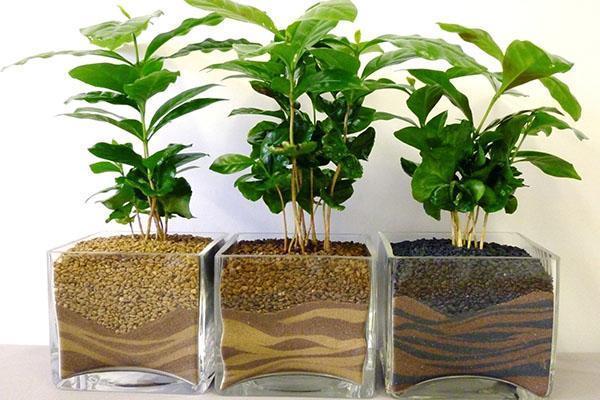 выращивание кофейного дерева дома