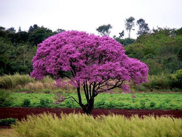 цветет муравьиное дерево
