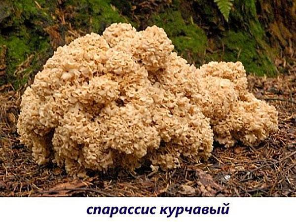 гриб спарассис курчавый