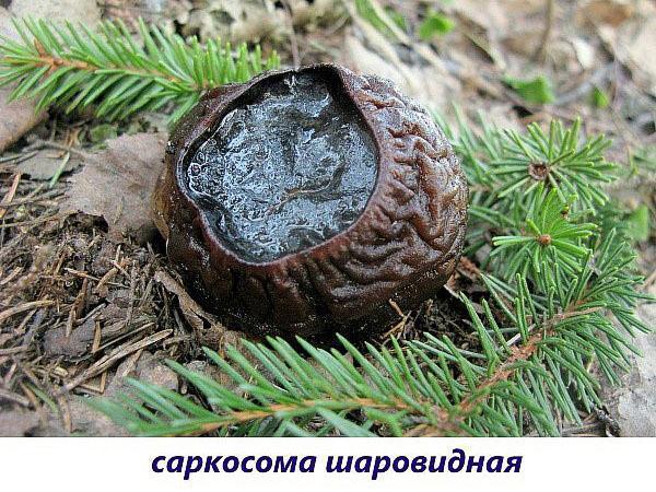 гриб саркосома шаровидная