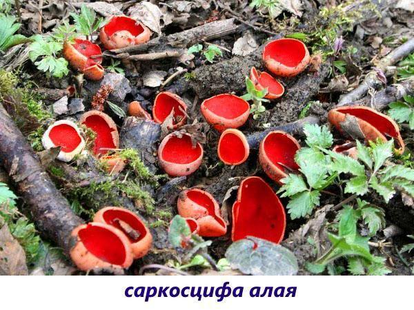 гриб саркосцифа алая