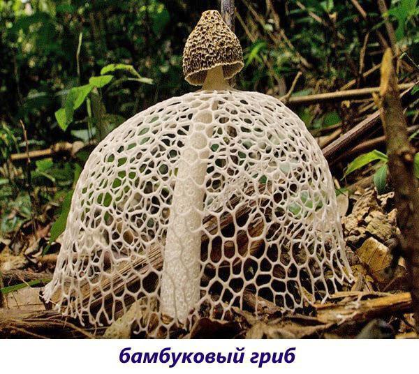 бамбуковый гриб