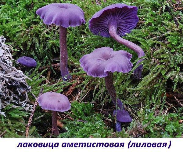 гриб лаковица аметистовая