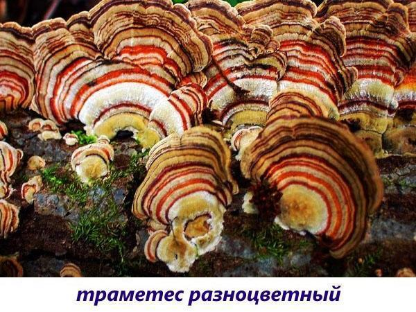 грибы траметес разноцветный