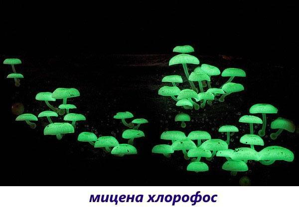 грибы мицена хлорофос