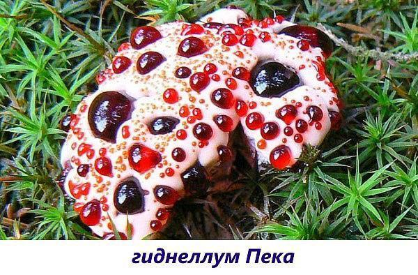 гриб гиднеллум пека