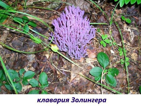 гриб клавария золингера