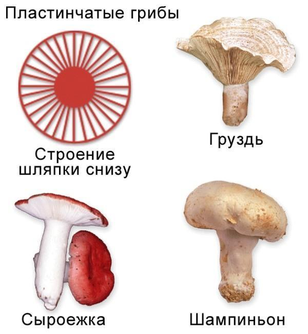 строение пластинчатых грибов