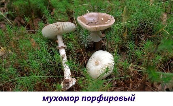 мухомор порфировый