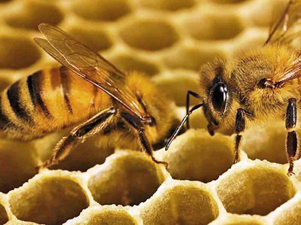пчела строит соты