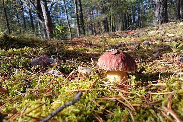 растут грибы в лесу