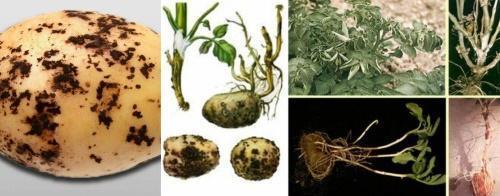 Ризоктониоз картофеля и меры борьбы с болезнью