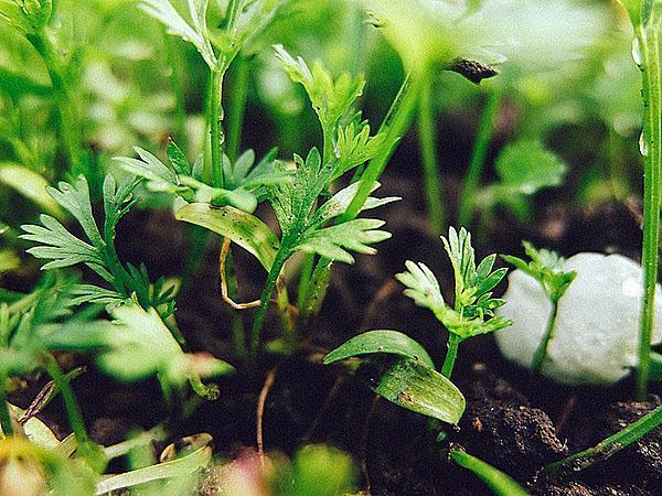 зелень на теплой грядке до самых морозов