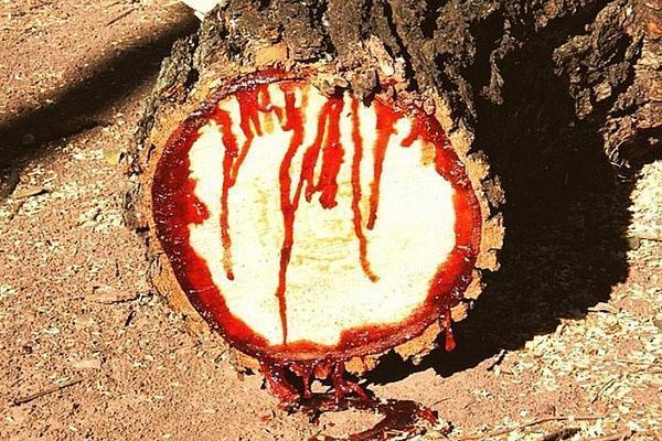 срез тикового дерева