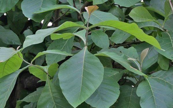 листья тикового дерева