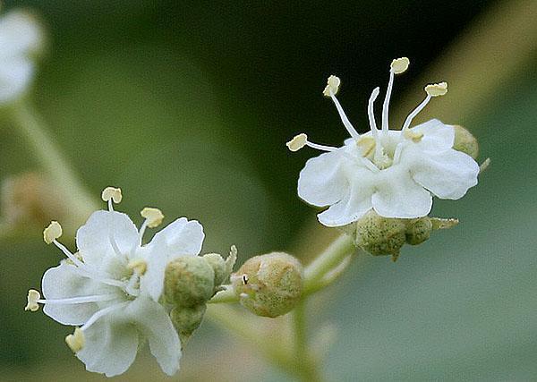 цветение тикового дерева