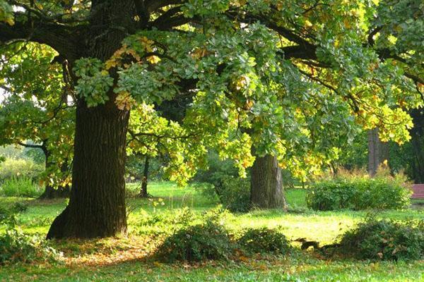 трюфель растет под деревом