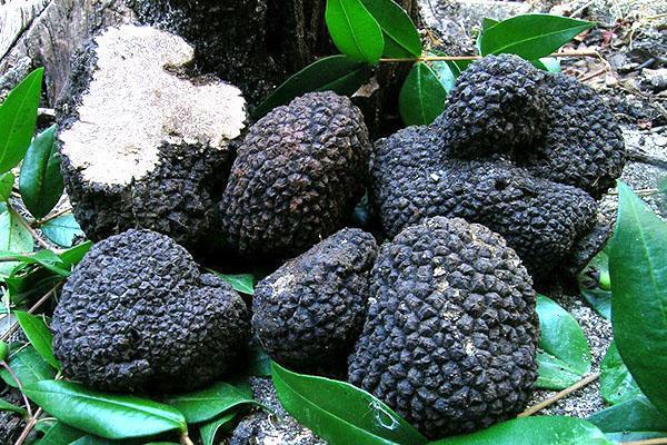 крупные плоды трюфеля