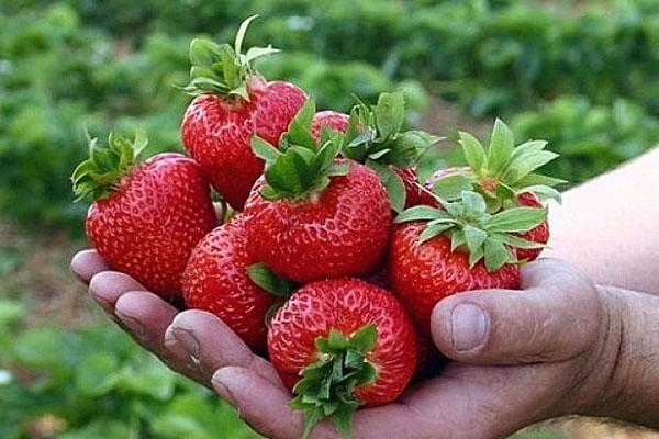 крупная сочная ягода