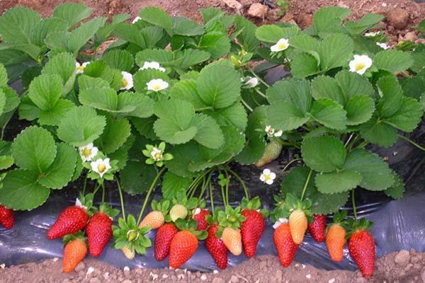 цветы и ягоды ремонтантной клубники
