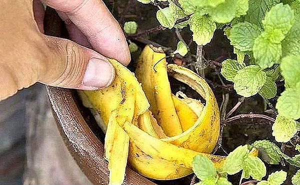 использование свежей банановой кожуры