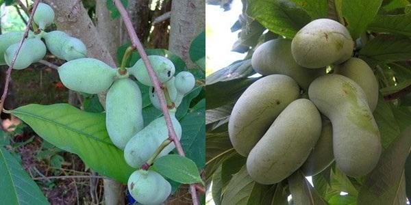 плоды бананового дерева