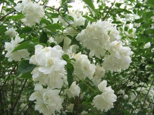 цветки жасмина