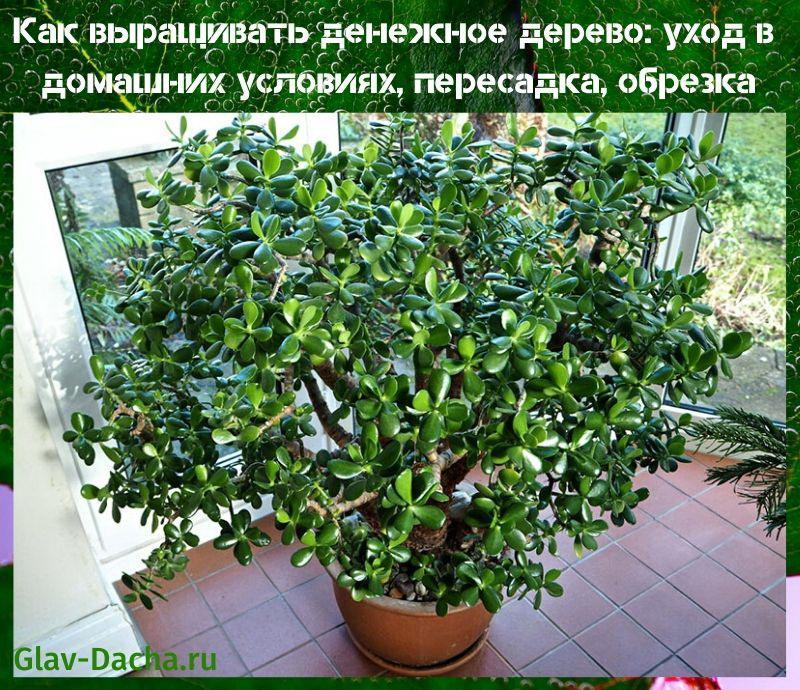 денежное дерево уход в домашних условиях