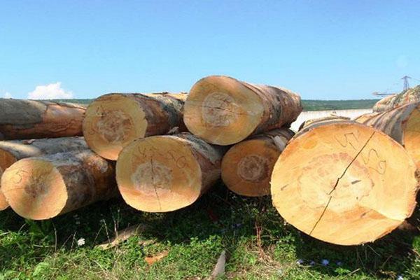 древесина бука
