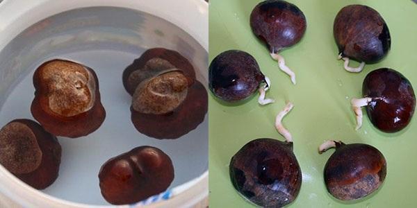 проращивание ореха каштана