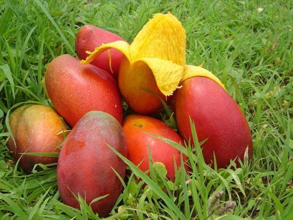 сбор плодов манго