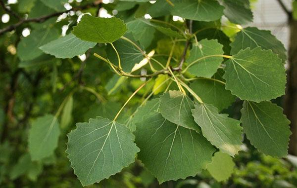 листья осины