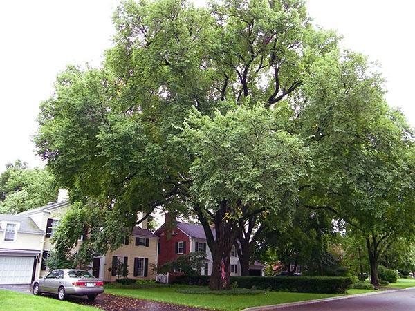 Вяз фото дерева и листьев осенью