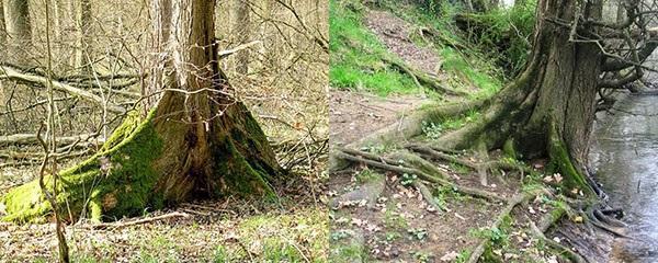 корни дерева вяз