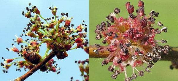 цветение вяза разных видов