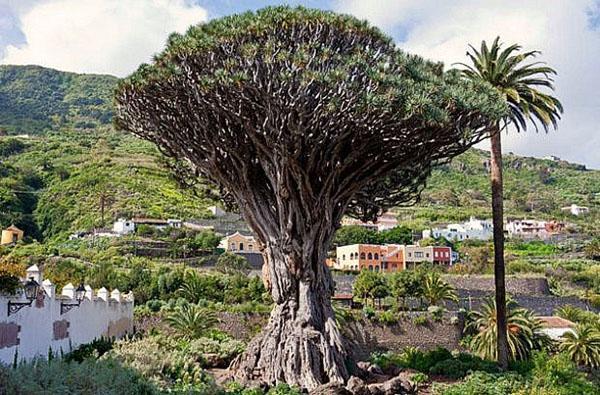 дерево с удивительной легендой
