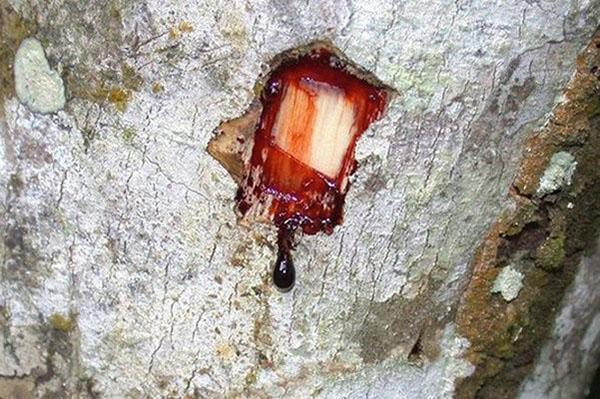 сок древесины драконового дерева