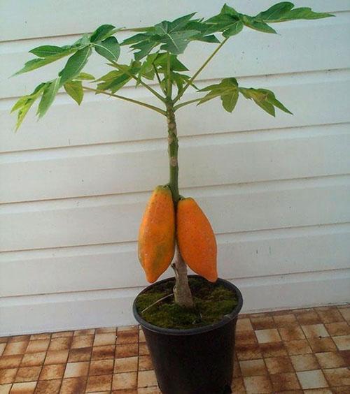 дынное дерево из семян